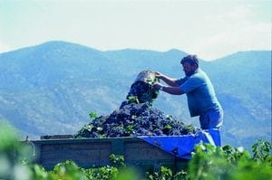 Carmenère druivenras